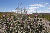 Ocotillo (Fouquieria splendens), and Tree Cholla, (Cylindropuntia imbricata var. arborescens), Big Bend Ranch State Park, Texas