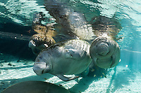 Florida manatee, Trichechus manatus latirostris, a subspecies of the West Indian manatee, endangered. January 27, 2012, a series of the documented adoption of a small female orphan manatee calf. Small orphan calf swims on the left with adoptive mother and the mother's well fed older female calf on the right. This adoptive mother manatee is CR554, a female first documented in 1999 and she has been seen with four calves over the years in addition to this young adoptee. Identification data is supplied by Cathy A. Beck, Wildlife Biologist, from USGS, Sirenia Project, United States Geological Survey. Fish, bream, Lepomis spp. are present. Horizontal orientation with blue spring water and sun rays. Three Sisters Springs, Crystal River National Wildlife Refuge, Kings Bay, Crystal River, Citrus County, Florida USA.