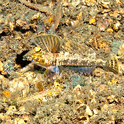 Lancer Dragonet inhabit areas of sand and rubble in Tropical West Atlantic, males court by raising large 1st dorsal fin; picture taken Blue Heron Bridge, Palm Feach, FL.
