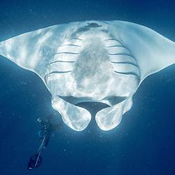 raie manta, oceanic manta ray, Manta birostris