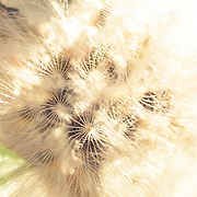 Dandelion photographed handheld at a Magnification of 1.5/1. Picture taken in residential garden in Camarillo CA.