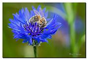 European honey bee  on cornflower. Nikon D850, 105mm, f13, 1/250sec, ISO125, Nikon SB900, manuel.