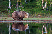An Eurasian Brown Bear stands at the edge of a lake in the forest in Finland.