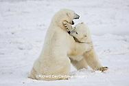 01874-11302 Polar Bears (Ursus maritimus) sparring, Churchill Wildlife Management Area MB