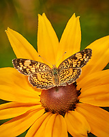 Pearl Crescent (?) Butterfly on a Black-eyed Susan Flower. Image taken with a Nikon 1 V3 camera and 70-300 mm lens