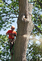 Zack West of ZD Tree Service cuts down a 100' oak tree on Opechee Street in sections on Friday.  (Karen Bobotas/for the Laconia Daily Sun)