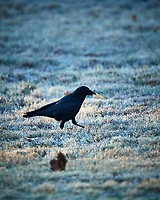 Crow. Image taken with a Nikon D5 camera and 600 mm f/4 VR lens (ISO 1600, 600 mm, f/4, 1/1250 sec).