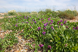 Sea Pea on the beach at Dungeness. Lathyrus japonicus. I.d confirmed by Andy