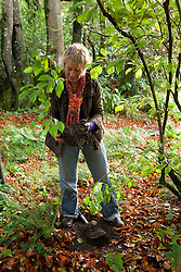 Layering Viburnum bodnantense 'Dawn'. Carol Klein showing rooted layer in autumn