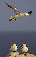 Gannet (Morus bassanus) in flight, Saltee Islands, Ireland.