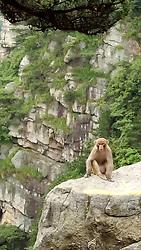 July 4, 2018 - Jiujiang, Jiujiang, China - Jiujiang, CHINA-Monkeys at Lushan Mountain in Jiujiang, east China's Jiangxi Province. (Credit Image: © SIPA Asia via ZUMA Wire)