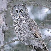 Great Gray Owl, (Strix nebulosa) Adult. Manitoba, Canada