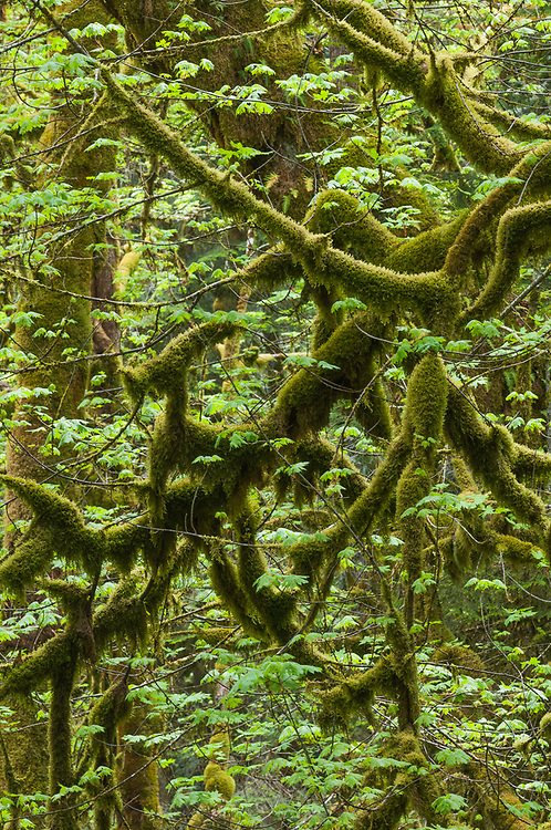 Bigleaf maple (Acer macrophyllum), moss-covered trunks, May, overcast light, Elwha River watershed, Olympic National Park, Clallam County, Washington, USA