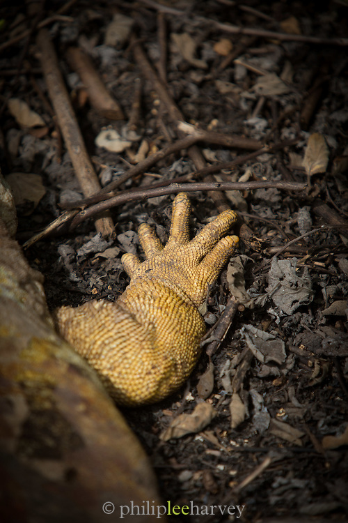 Galapagos land iguana (Conolophus subcristatus), Isabella Island. Galapagos, Ecuador, South America