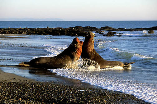 Northern Elephant Seal, (Mirounga angustirostris) Males fight for mating rights to females. California.