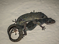 Mating Indian- Pacific Geckos.