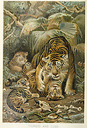 Tigress (Panthera tigris) and Cubs From the book ' Royal Natural History ' Volume 1 Edited by  Richard Lydekker, Published in London by Frederick Warne & Co in 1893-1894