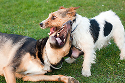One young mixed breed mongrel dog and One black, white and tan Jack Russell terrier dog running, chasing and play fighting in a park <br /> March 2011 .Images © Paul David Drabble