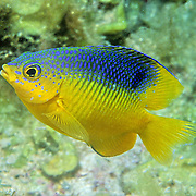 Cocoa Damselfish inhabit reefs, especially fore reefs with living coral, in Tropical West Atlantic; picture taken St. Lucia.