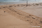 tracks of Hawaiian monk seal, Monachus schauinslandi, Critically Endangered endemic species, that has hauled itself up onto beach to rest intersect with human footprints at the shoreline, Larsen's Beach, Moloa'a, Kauai, Hawaii ( Central Pacific Ocean )