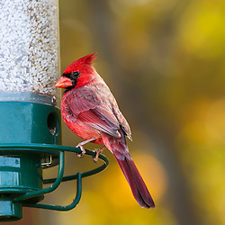 A Bold Red Male Cardinal Stops By The Feeder For A Quick Snack