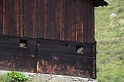 Murmeltiere in Stallfenster sitzend.