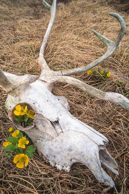 Reindeer skull, Bering Land Bridge National Preserve, Alaska, USA