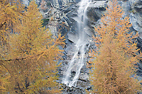 28.10.2008.European Larch (Larix decidua) and waterfall..Gran Paradiso National Park, Italy