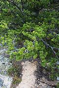 Jack Pine (Pinus banksiana) on the South Ridge trail of Cadillac Mountain, Acadia National Park, Maine, USA