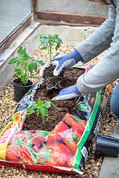 Planting up a growbag with tomatoes in a greenhouse