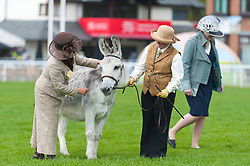 © Licensed to London News Pictures. 19/05/2019. Llanelwedd, Powys, Wales, UK. Donkey breed society class events take place in the main ring on the last day of the Smallholding and Countryside Festival - A celebration of rural life – at the Royal Welsh Agricultural Society showground, Llanelwedd in Powys, UK. Photo credit: Graham M. Lawrence/LNP