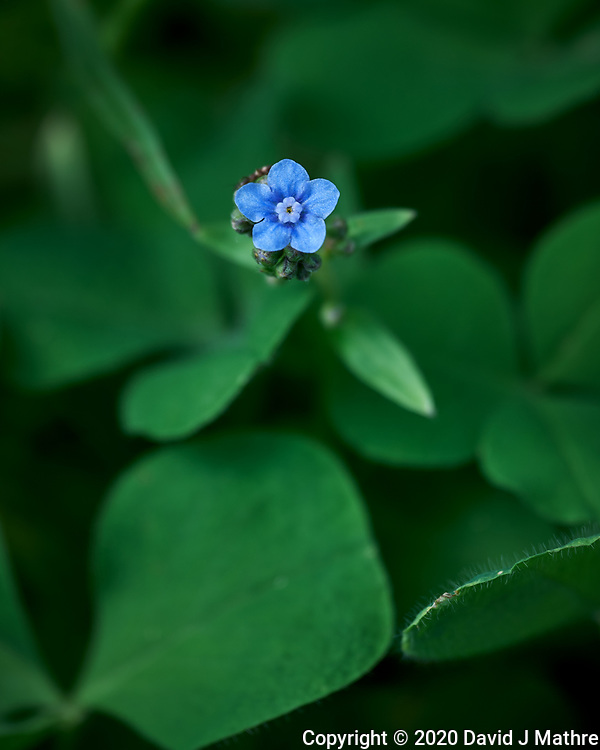 Forget-me-not. Image taken with a Leica SL2 camera and Sigma 70 mm f/2.8 macro lens