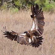White-backed vulture, Malamala Game Reserve, South Africa.