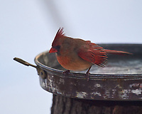 Northern Cardinal. Image taken with a Nikon D5 camera and 600 mm f/4 VRII lens