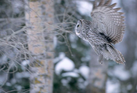 Great Gray Owl, (Strix nebulosa) Adult. Manitoba, Canada. Hunting in forest.