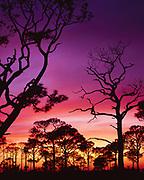 Slash Pines, Pinus elliottii, silhouetted at sunset, St. George Island, St. George Island State Park, Florida.