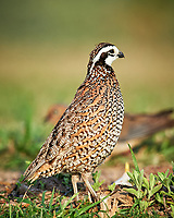 Northern Bobwhite (Colinus virginianus). Campos Viejos, Texas. Image taken with a Nikon D4 camera and 600 mm f/4 VR lens