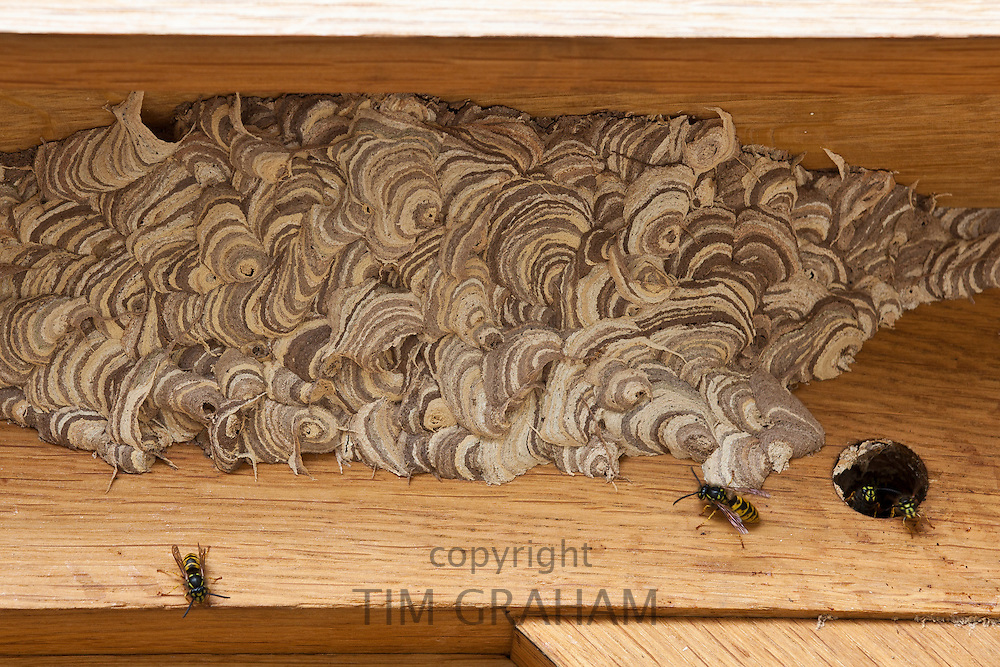 Wasps making a wood pulp nest on oak beams, United Kingdom