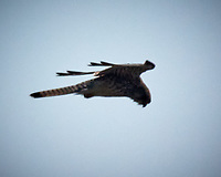 Shikra soaring over Mount Popa. Image taken with a Nikon 1 V3 camera and 70-300 mm lens (ISO 200, f/6.3, 1/4000 sec).