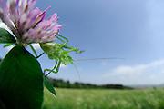 Die Punktierte Zartschrecke (Leptophyes punctatissima) ist eine 1-1,5 cm große Art der Laubheuschrecken (Tettigoniidae) und gehört zu der Ordnung der Langfühlerschrecken (Ensifera). Hier auf einem Rotklee (Trifolium pratense) Halboffene Weidelandschaft / Hudelandschaft in Crawinkel, Deutschland | The speckled bush-cricket (Leptophyes punctatissima) is a species of bush-cricket common in well vegetated areas of England and Wales, such as woodland margins, hedgerows and gardens.