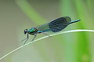 Banded Demoiselle - Calopteryx splendens<br /> male