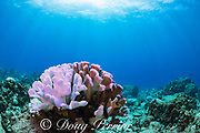 partially bleached antler coral, Pocillopora edouxi, shows parts that are still healthy and brown due to the presence of symbiotic zooxanthellae, parts that are bleached white due to the loss of those symbiotic algae, but are fluorescing light violet due to pigments that are believed to function like sunscreen to help the coral survive bleaching; Lone Tree Arch, Kohanaiki, Kaloko, Kona, Hawaii Island ( the Big Island ), Hawaii, USA ( Central Pacific Ocean )
