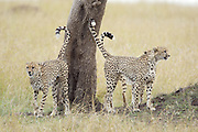 Cheetah<br /> Acinonyx jubatus<br /> Males marking tree<br /> Masai Mara Reserve, Kenya