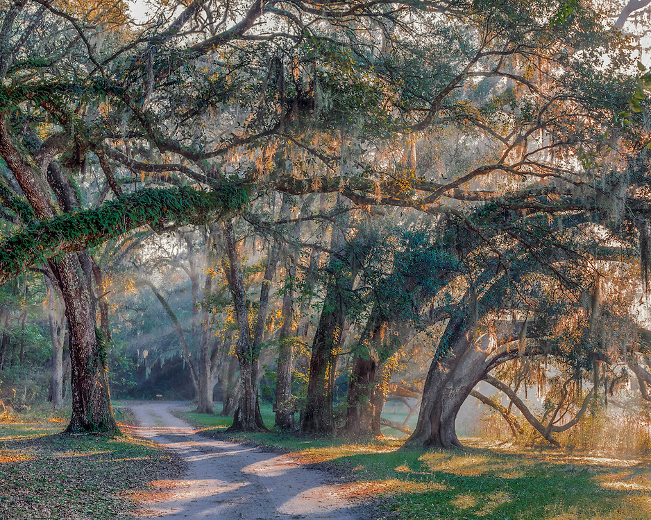 Dirt lane & Live oak trees, with sunrays through branches, Withlacoochee State Forest, Hernando County, FL