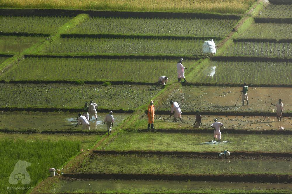Prisoners working in a rice paddy, Huye, Rwanda.