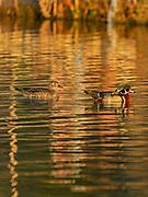 Wood duck (Aix sponsa) male<br />Winnipeg<br />Manitoba<br />Canada