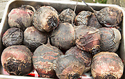 Close up of cooked roasted beetroot roots in metal tray,  UK