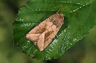 Rosy Rustic - Hydraecia micacea