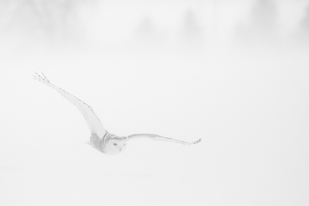 """Snowy owl in flight during a snowstorm.<br /> <br /> Available sizes:<br /> 18"""" x 12"""" print <br /> 18"""" x 12"""" canvas gallery wrap <br /> <br /> See Pricing page for more information. Please contact me for custom sizes and print options including canvas wraps, metal prints, assorted paper options, etc. <br /> <br /> I enjoy working with buyers to help them with all their home and commercial wall art needs."""