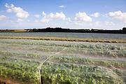 Turnip crop growing in a field under protective fleece, Hollesley, Suffolk, England